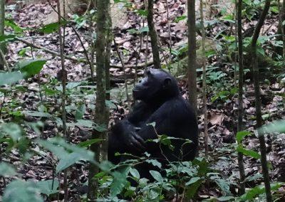 Amigo chimpancé